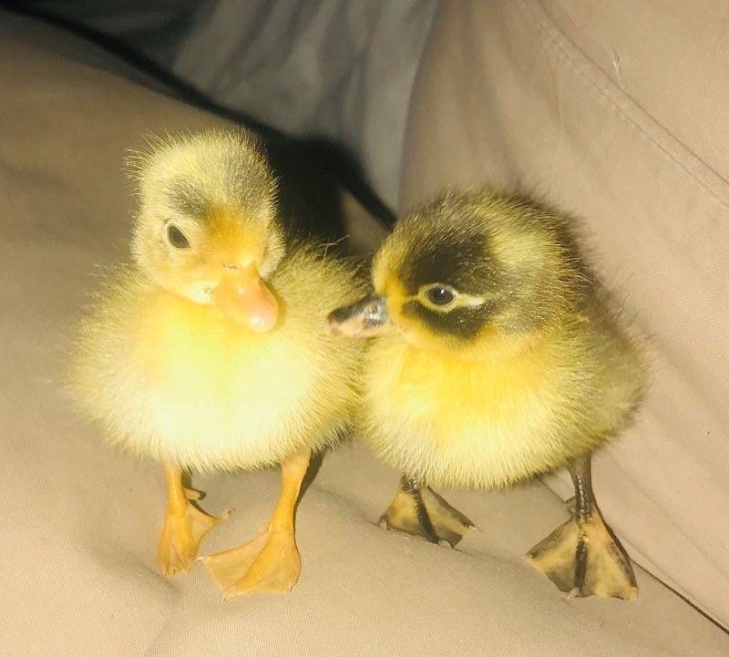 Two baby ducks