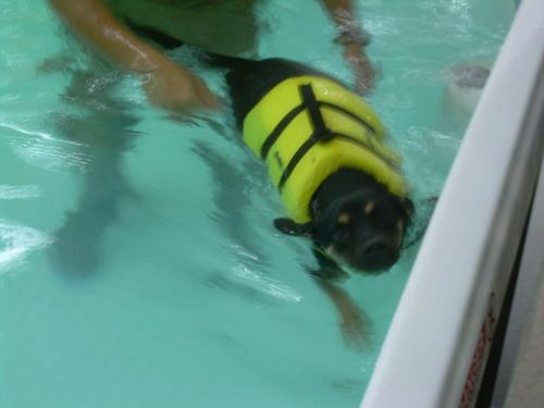 Dog with life vest getting physical therapy in pool