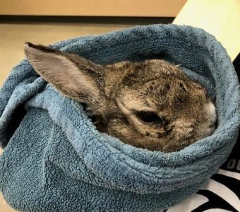 Rabbit in blue towel